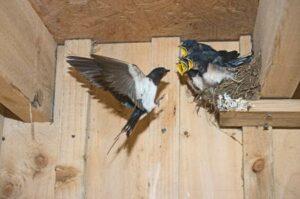 come costruire un nido per rondini 0d283450fcc8ff2ba6a13b65f6215d78 300x199 Il nido, il rispetto, la protezione